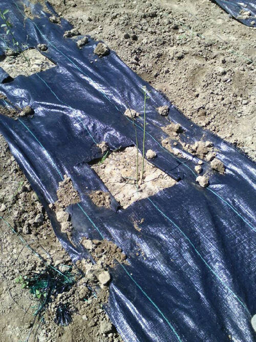 枸杞种植选用除草布都有哪些好处?